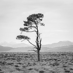 Solitary Pine (dalejckelly) Tags: canon canon70300l canon5dmarkiv landscape landscapephotography scotland scottish scenery scenic trees tree trossachs stirling stirlingshire outdoor mountains moors hills blackandwhite