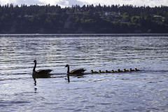 Geese On The Sound (LifeLover4) Tags: geese goslings pugetsound bird brantacanadensis canadagoose birds bay nature