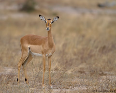 Impala ewe (leendert3) Tags: leonmolenaar southafrica krugernationalpark wildlife nature mammals impala ngc coth5 npc