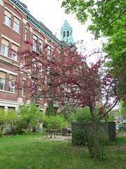 Flowering Trees, Montreal (southofbloor) Tags: pink flowering tree plum crabapple cherry montreal