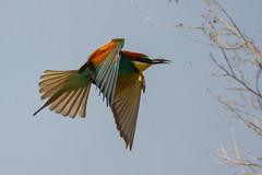 20mai18_07_prigorii prundu 07 (Valentin Groza) Tags: prigorie prigorii bee eater merops apiaster romania summer bird flight bif birdwatching outdoor