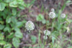 (andthensom) Tags: california carmel monterey pointlobos white wildflower