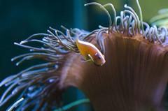 Tendresse (LynxDaemon) Tags: fish anemone aquarium plants aquatic tentacles friends symbiotic orange