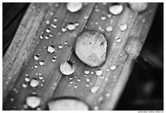 Marley (Matías Brëa) Tags: gotas lluvia agua hoja naturaleza macro drops rain water leaf blancoynegro blackandwhite byn bw bnw