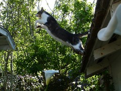 Wiki Leaping UP - series of 3  (better larger) (Room With A View) Tags: wiki cat leap jump