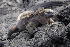 Galapagos_Santiago Island Egas Port (16 of 28) (Laurie Paulik) Tags: galapagosislands santiagoislandegasport marine iguanas