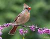Northern Cardinal (jklewis4) Tags: nature bird birds cardinal female northerncardinal red rust songbird