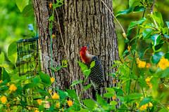 Woodpecker at Autrey Mill Nature Preserve (randyherring) Tags: autreymillnaturepreserve nature park historic atlanta georgia recreation trails south farm
