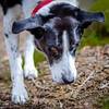Zac has a business-like spring in his step this morning (grahamrobb888) Tags: d800 nikon nikond800 nikkor nikkor85mmf18 zac dog pet pathway path track birnam birnamwood dunkeld perthshire