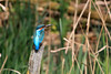 Male Kingfisher (Alcedo Atthis) (Karen Roe) Tags: ryemeads naturereserve nature reserve hertfordshire county england britain uk unitedkingdom greatbritain gb canoneos760d canon 760d 150600mm sigma zoom contemporary wildlife april 2018 peaceful quiet tranquil outside spring weather season camera photography photograph photographer picture image snap shot photo karenroe female flickr visit visitor rspb royal society protection birds member