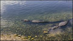 _SG_2018_04_0080_IMG_6787 (_SG_) Tags: usa us florida key west sunshine state united states america island city roundtrip everglades national park american alligator mile nine pond