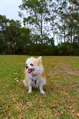 20180425-IMG_3208-2 (PM Clark) Tags: chihuahua jezebel pure bred fluffy sydney