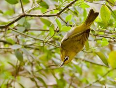 Oriental White-eye (Snappy Lens) Tags: oriental whiteeye bird awsomenature urbanwildlife garden nature birdshot