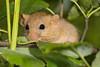Muscardinus avellanarius (NakaRB) Tags: mammalia rodentia myoxidae muscardinusavellanarius 2016