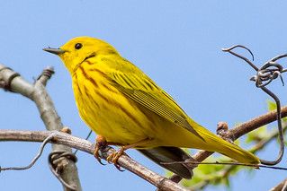 Vibrant Yellow Warbler