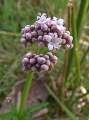 Valeriana dioica (Marsh Valerian), flowers, Southrepps Common LNR, Norfolk, 26.4.18 (respect_all_plants) Tags: marshvalerian valerianadioica southrepps common localnaturereserve sssi norfolk wildflowers