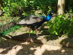 vogel avifauna birdpark vogelpark pauw natuur nature... (Photo: Freek Blokzijl on Flickr)
