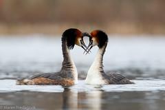Toppdykker - Great crested grebe (Maren Fredagsvik) Tags: greatcrestedgrebe toppdykker fugl fugler bird birds waterbird oslo østensjøvannet norge norway