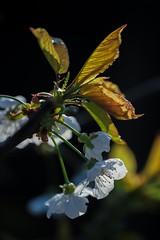 Cherry Blossom (haberlea) Tags: garden mygarden plant blossom cherryblossom flowers tree white