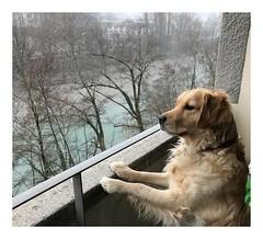 Album Chiens Clients Janvier-Avril 2018 (14) (Dalmatien-Golden-Braque) Tags: dalmatien goldenretriever braquedeweimar chien carcassonne elevage eleveur animaux dog breader