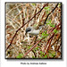 Andreas Kalbow Klappergrasmücke Sylvia leucomelaena 2018.04.14 Große Torfmoor (1)