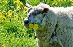Happy Sunday (BrigitteE1) Tags: happysunday schaf sheep butterblumen butterblume dandelions dandelion snapshot blumen flowers fun