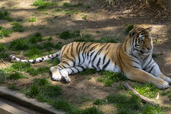 National Zoo 3 May 2018  (665) Tiger (smata2) Tags: tiger tigre flickrbigcats bigcat smithsoniannationalzoo zoo zoosofnorthamerica itsazoooutthere animals zoocritters