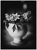 Mitakon Image - Step Three (Krogen) Tags: norge norway norwegen akershus ullensaker jessheim krogen blomster flowers mitakonspeedmaster f095 analogefexpro2 silverefexpro