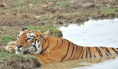When it's 44°C outside, you gotta keep yourself cool. #bigcats #ProjectCAT #wildlifephotography #wildcats #wildlife (jeepersrahul) Tags: wildcats bigcats wildlife wildlifephotography projectcat