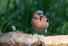 _DSC3883 (vilaramon) Tags: pinsondesarbres fringillacoelebs commonchaffinch passériformes fringillidés