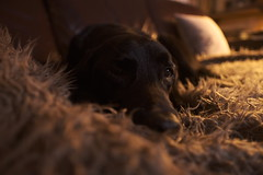 Old dog bedding in for the night (Buck777) Tags: veterans old black labrador dog