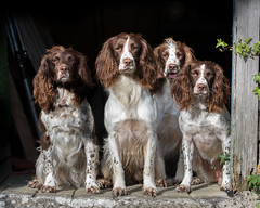 Family Portrait!! (kitwilliams91) Tags: englishspringerspaniel dogs related canine workingdogs sunlight patient