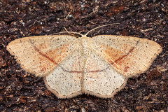 Maiden's Blush - Cyclophora puntaria (AndyMarquis105) Tags: moth insect maidens blush