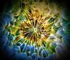 Colour Enhanced Macro Dandelion Seed Head (SteveShillingPhotography) Tags: macro flower nature dandelion