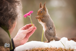 man with a flower and red squirrel