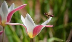 Ouvrière à l'oeuvre (GauMarie) Tags: fleurs abeille