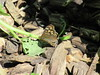 Tuesday, 1st, Speckled wood IMG_7373 (tomylees) Tags: tuesday 1st may 2018 braintree essex publicgardens butterfly