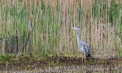 9Q6A2500 (2) (Alinbidford) Tags: alancurtis alinbidford brandonmarsh greyheron nature wildbirds wildlife