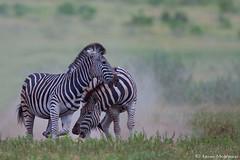 Zebra Stallions (leendert3) Tags: leonmolenaar southafrica krugernationalpark wildlife nature mammals burchellszebra ngc npc