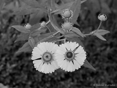 Nocturnal Twins (Sockenhummel) Tags: blüten maxliebermannvilla wannsee blumen flowers twins night zwillinge blossoms schwarzweis blackwhite monochrom fuji