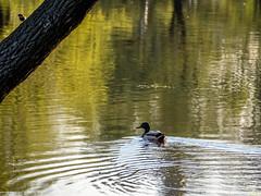 Two birds (pilot3ddd) Tags: stpetersburg aviatorspark bigpond spring duck birds olympusomdem5markii olympusmzuiko40150mm