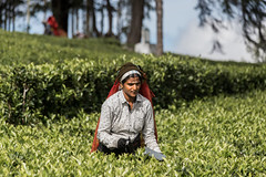 Lonely tea worker (Tim&Elisa) Tags: srilanka dambatenne dambatenneteaplantation canon tea haputale teaworker green portrait