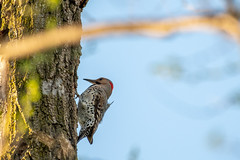 Lunchtime (jpetcoff) Tags: woodpecker lunch spring tree trees ants bugs food day clear wildlife bird eating