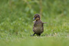 Dance with me... (Anja van Zijl) Tags: entenküken duckling duck wildlife birds waterbird bird babyanimal birdwatching