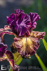 Bearded Iris-23 (Bryan Still) Tags: nor cal cali santa rosa b c d e f g h j k l m n o p q r s t u v w x y z 1 2 3 4 5 6 7 8 9 california san francisco me you us crazy pictures culture hdr hdri lighting fog night sky late boat planes flowers sun moon stars air nature trees clouds mountains artistic painting light sony a6000