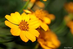 Good morning (edzwa) Tags: sydney newsouthwales australia au flowers flower closeup macroflower macro canon100mmf28lmacro canon6dmarkii yellow yellowflower bokeh