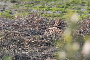 Common Snipe (Gallinago gallinago), Xuejia Wetlands, TW, 20180426-101.jpg