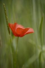 Klaproos (.MARTINE.) Tags: martine nikond800 klaproos poppy lente spring veld fiels bloem flower botanische tuin utrecht