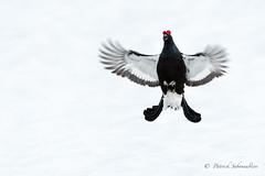 Tétras lyre l'envole (PatNik01) Tags: nikon france lyrurustetrix alpes montagne neige oiseau petitcoqdesbruyers tetraslyre tetraotetrix