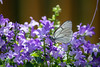 Butterfly (andriana andreeva photography) Tags: white green violet purple insects